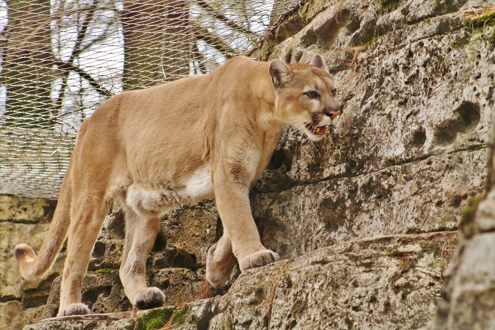 Cougar new jersey