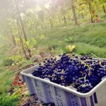 Harvesting Chambourcin grapes at Franklin Hill Vineyard - Photo by Franklin Hill Vineyard.