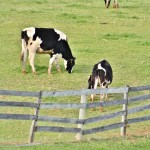three cows grazing field lancaster county pennsylvania