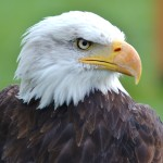 Bald eagle sightings increase in Pennsylvania Dutch Country