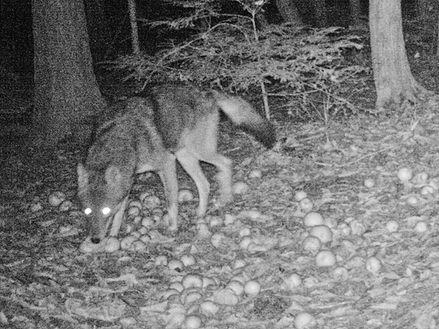 Easter Coyote Trail Cam