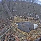 Eagle Cam Eagle is hunkered down for a brutal night of high winds and rain